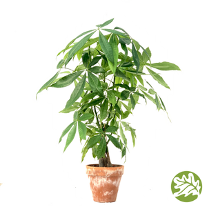 "PACHIRA aquatica Money Tree 6"" pot"